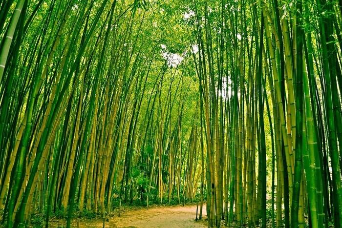 groot groen bamboebos