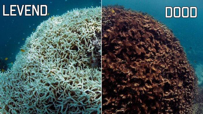Vergiftigd en dood koraal